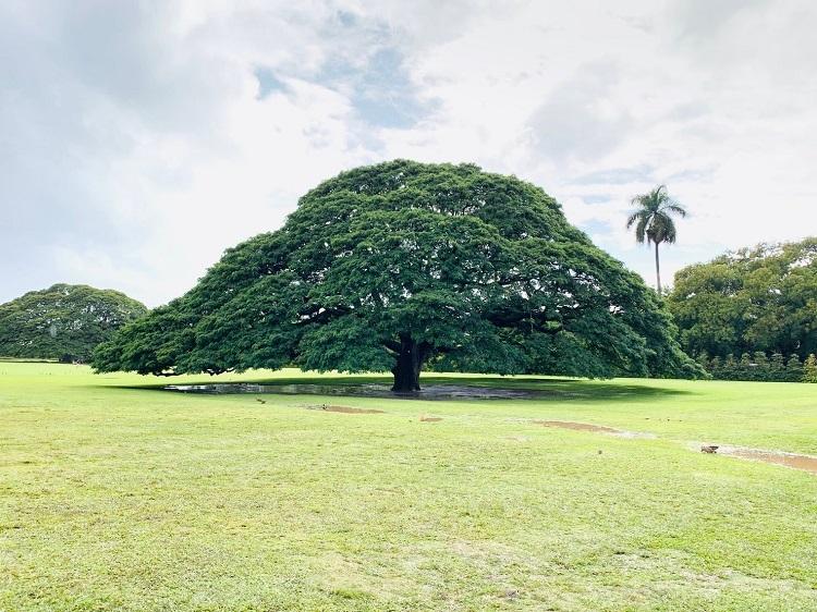 モアナルア・ガーデン この木何の木