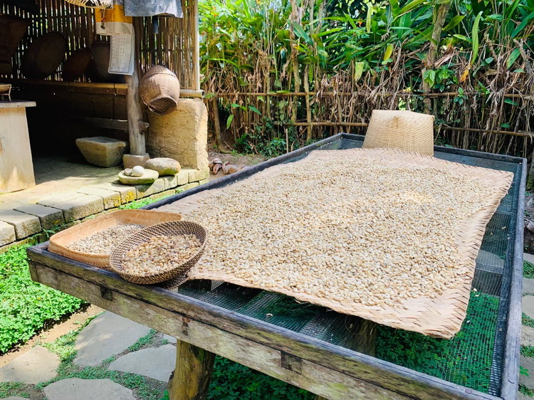 バリ・プリナ 天日干しにされたコーヒー豆