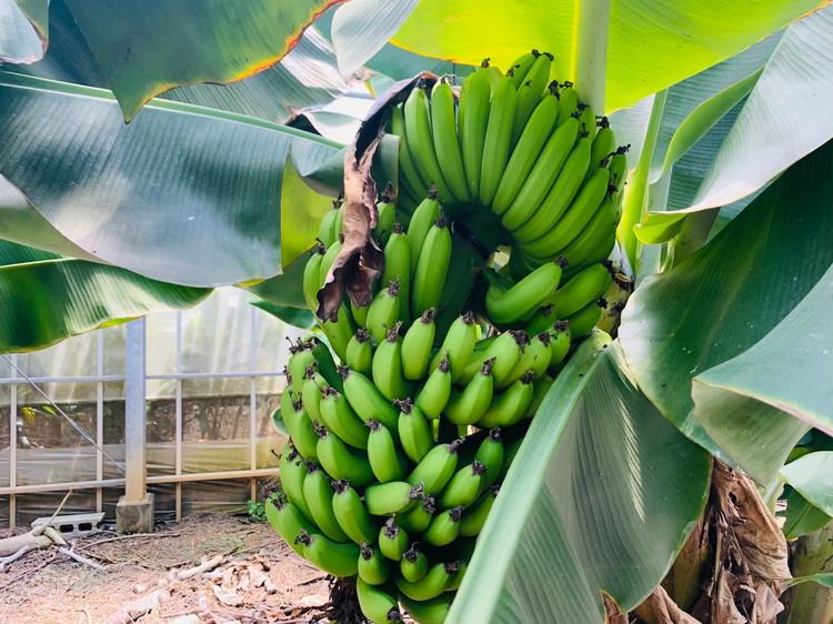 ユートピアファーム 農園見学 バナナ